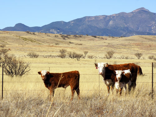 Barbed wire cattle fence